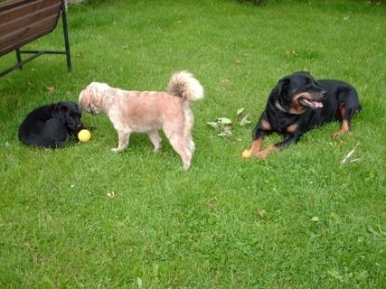 FOTKA - Tři psí dámy :Roxy/7/, Aisha /1,5/a  Aira/3 měsice/,28.6.2009.