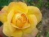 Růžička  .