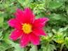 červená květina