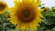 Slunečnice 4