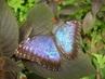 Motýlí hezoun