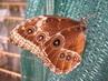 Motýlí fešák