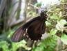 Černý motýl