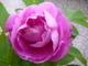 růže  .