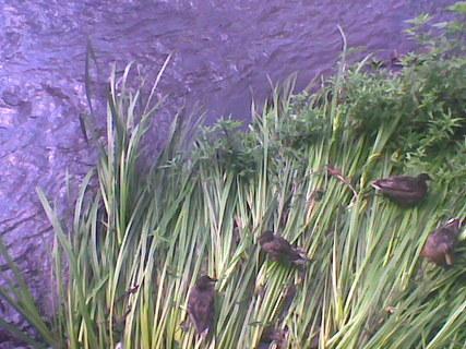 FOTKA - Kačeny na řece Nežárce