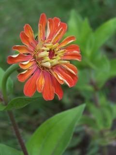 FOTKA - cínie oranžová