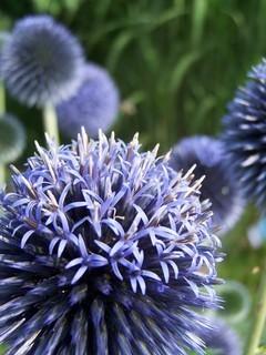 FOTKA - Modrý bodláček