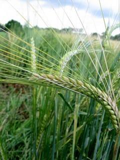 FOTKA - klas pšenice