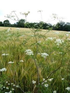 FOTKA - plevelné trávy na okraji pole