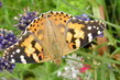 Motýl 2