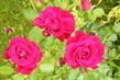 Růže 1