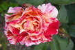 Růže 4