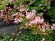 kvetoucí pryšec