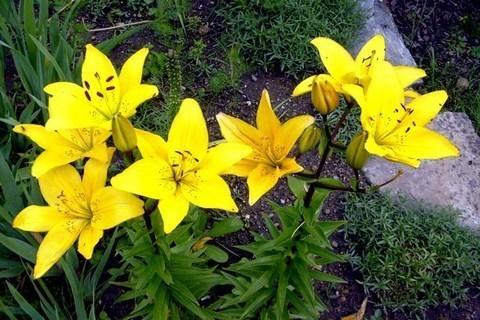 FOTKA - Žlutá lilie 2