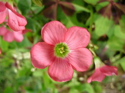FOTKA - Růžový kvítek