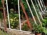skleníkové růžičky