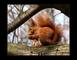 veveruška