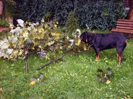 FOTKA - Roxy  po bouřce očichává spadlou větev,23.7.2009