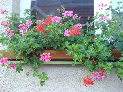 FOTKA - okno s muškáty1