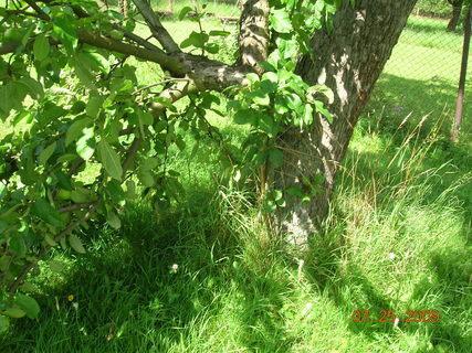 FOTKA - polámaná jabloň