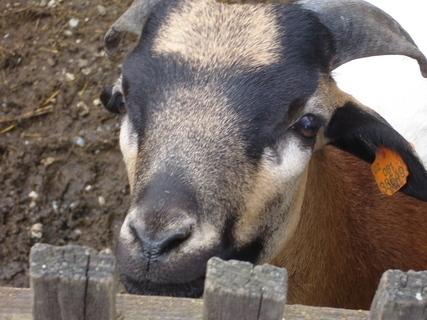 FOTKA - zvědavá koza