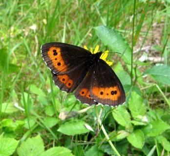 FOTKA - tmavě zbarvený motýlek