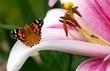 babočka bodláková na lilii