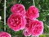 pnoucí růže v rozáriu