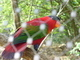 Papoušek za plotem
