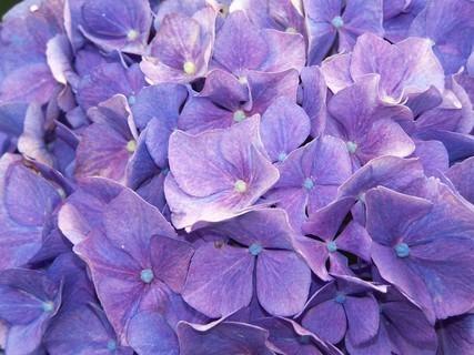 FOTKA - Hortenzie modrá