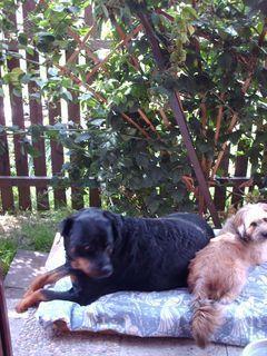 FOTKA -  Rottweilerka Roxy a Aisha ve stínu beztrnných  ostružin - 31.7.2009.