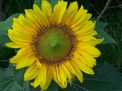 FOTKA - Mini slunečnice