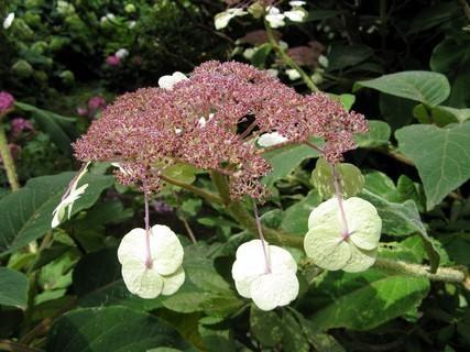 FOTKA - Květ hortenzie drsné