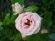 Růžička