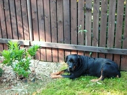 FOTKA - Roxy  dnes ráno na záhradě u plotu a azalky, 8.8.2009