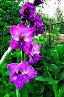 FOTKA - Mečík - gladiola