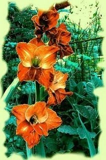 FOTKA - Gladiola ze zahrádky