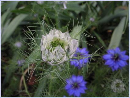 FOTKA - Černucha - rostlina