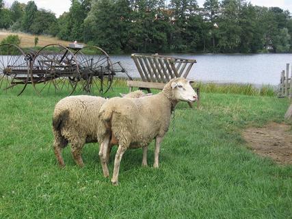 FOTKA - Ovce
