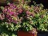 rozkvetla bougenvilie