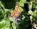 motýl 11