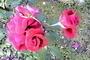 Růže zrána
