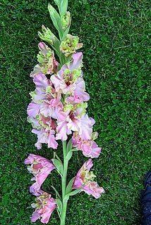 FOTKA - Růžová gladiola