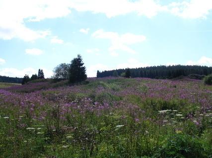 FOTKA - Šumava - rozkvetlá louka