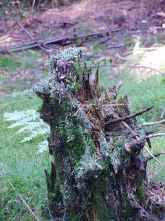 FOTKA - Obrostlý pařez v lese