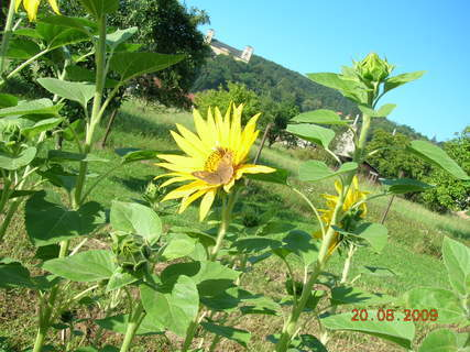 FOTKA - slunečnice s motýlem