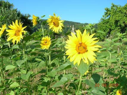 FOTKA - slunečnice a včeličky
