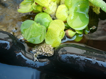 FOTKA - žabička v jezírku