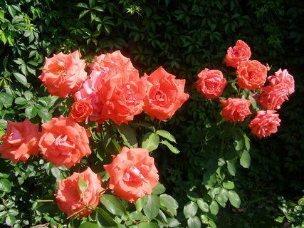 FOTKA - růže po babičce