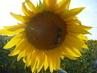 slunečnice a 3  čmeláci